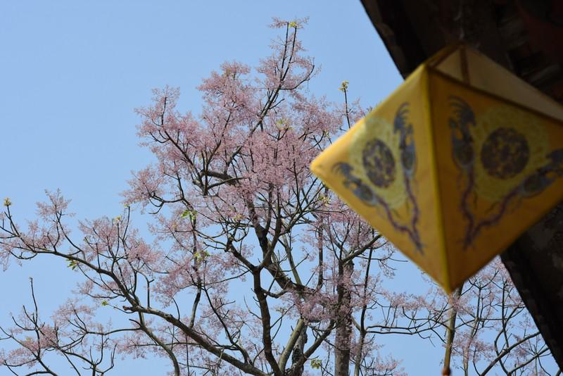 Ngắm hoa ngô đồng khoe sắc trong Đại nội Huế - ảnh 5