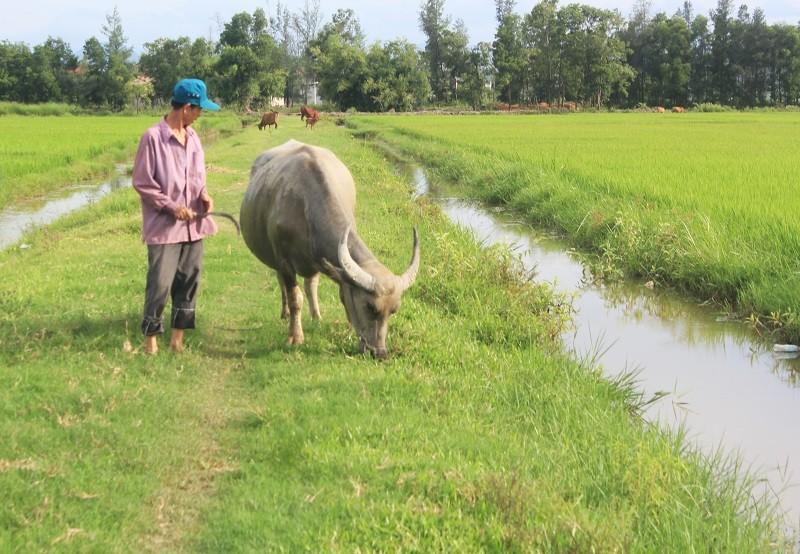 Thông tin mới vụ thu phí trâu bò ăn cỏ ở Quảng Bình - ảnh 1