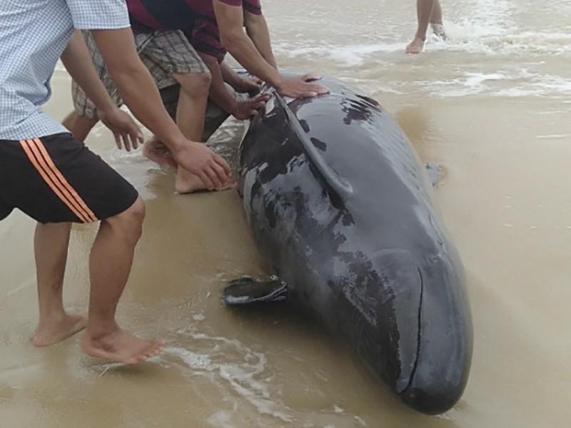 Cá heo nặng hơn 300 kg được người dân đưa trở lại biển - ảnh 1