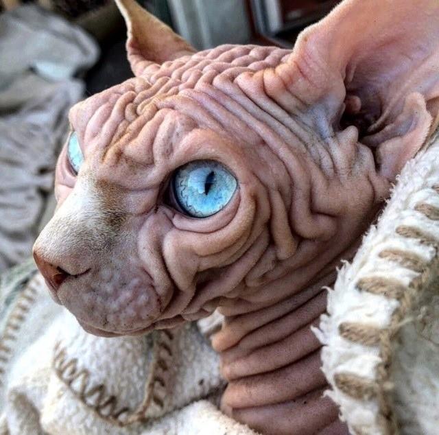 Ngắm chú mèo ghê rợn nhất thế giới  - ảnh 1