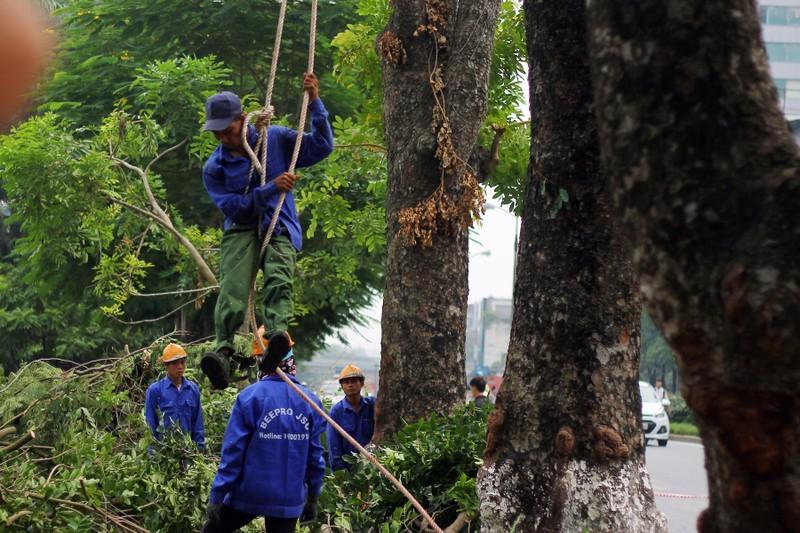 Cắt tỉa hàng cây Kim Mã trước khi di dời - ảnh 6