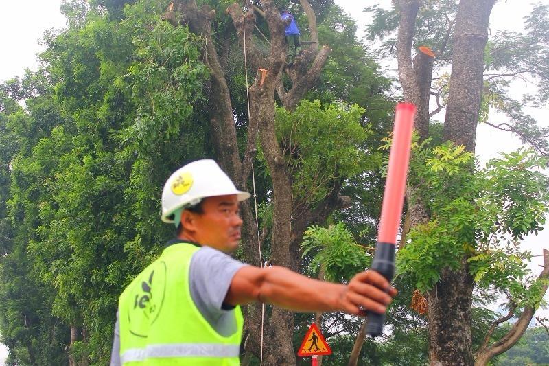 Cắt tỉa hàng cây Kim Mã trước khi di dời - ảnh 3