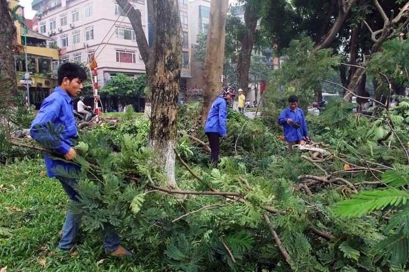 Cắt tỉa hàng cây Kim Mã trước khi di dời - ảnh 7