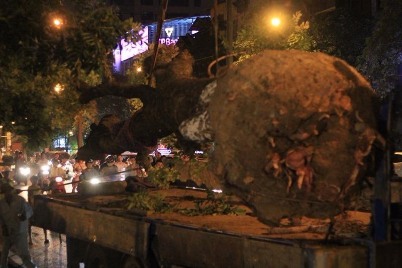 Việc chuyển cây được tiến hành rất cẩn thận, tỉ mỉ và nhịp nhàng ở từng khâu.