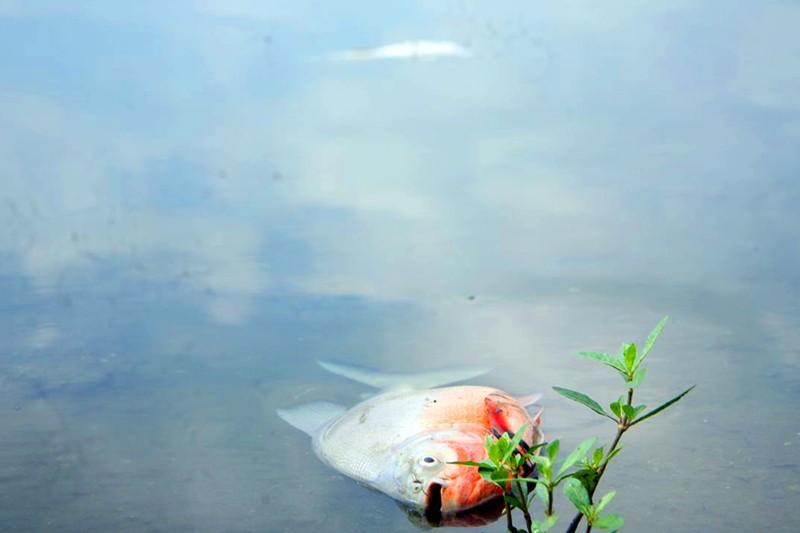 Cá lại chết nhiều ở hồ Linh Đàm - ảnh 1