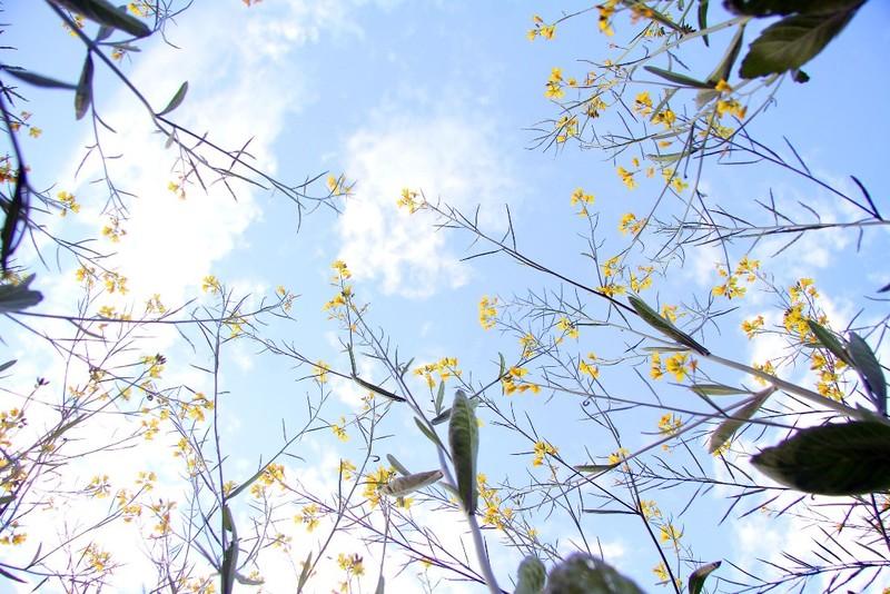 Đồng cải vàng làm mê mẩn giới trẻ Hà Thành - ảnh 6
