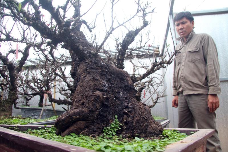 Vẻ đẹp 'sang chảnh' của đào Thất thốn trên đất Nhật Tân - ảnh 15