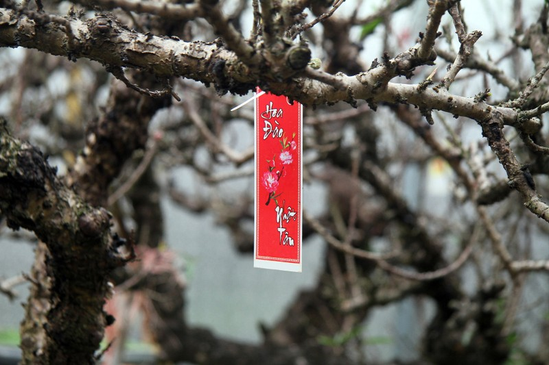 Vẻ đẹp 'sang chảnh' của đào Thất thốn trên đất Nhật Tân - ảnh 1