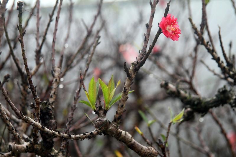 Vẻ đẹp 'sang chảnh' của đào Thất thốn trên đất Nhật Tân - ảnh 7