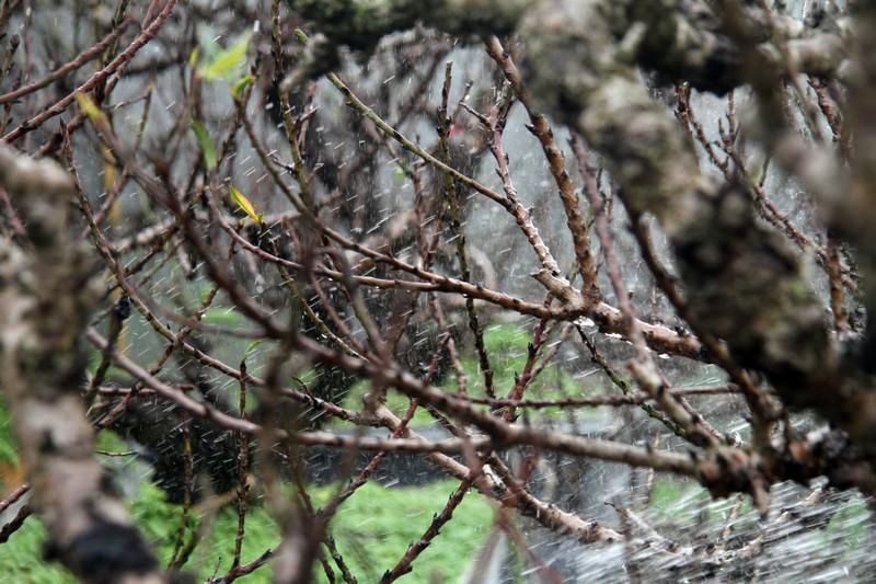 Vẻ đẹp 'sang chảnh' của đào Thất thốn trên đất Nhật Tân - ảnh 11