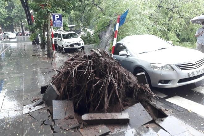 Me cổ thụ bật gốc đè vào ô tô trong cơn mưa lớn ở Hà Nội - ảnh 2