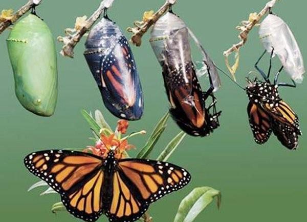 Kết quả hình ảnh cho kén bướm