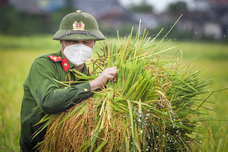 Chiến sĩ công an Yên Dũng giúp người dân bị cách ly gặt lúa - ảnh 3
