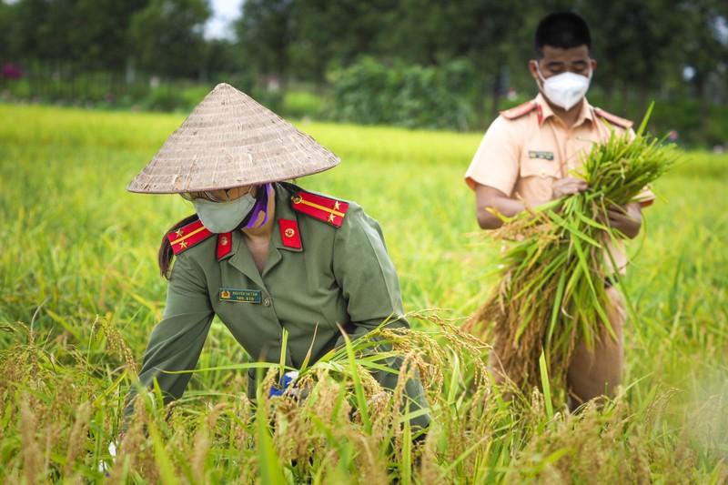 Chiến sĩ công an Yên Dũng giúp người dân bị cách ly gặt lúa - ảnh 2