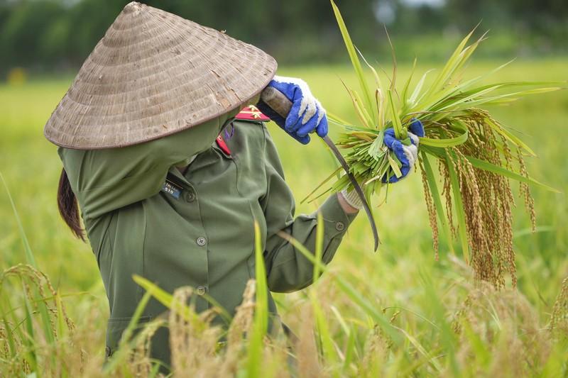 Chiến sĩ công an Yên Dũng giúp người dân bị cách ly gặt lúa - ảnh 5
