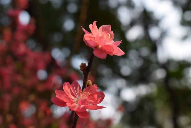 Người Sài Gòn ngẩn ngơ ngắm hoa đào đất Bắc - ảnh 5