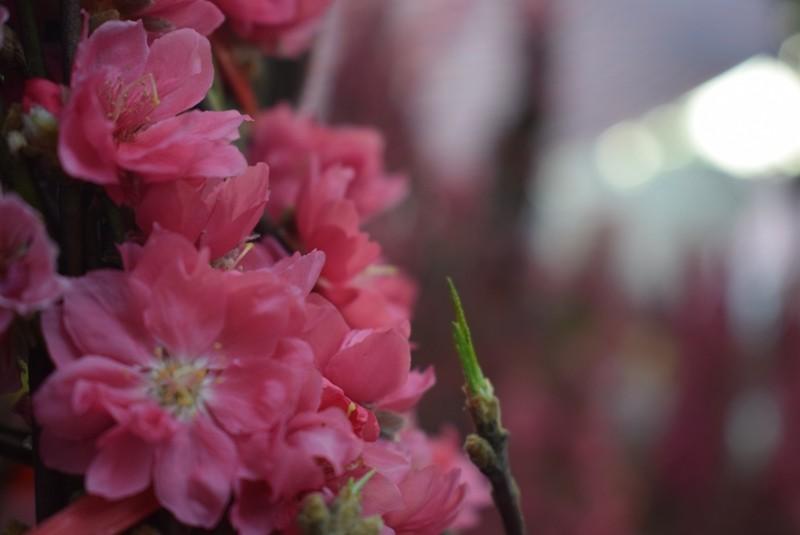 Người Sài Gòn ngẩn ngơ ngắm hoa đào đất Bắc - ảnh 1