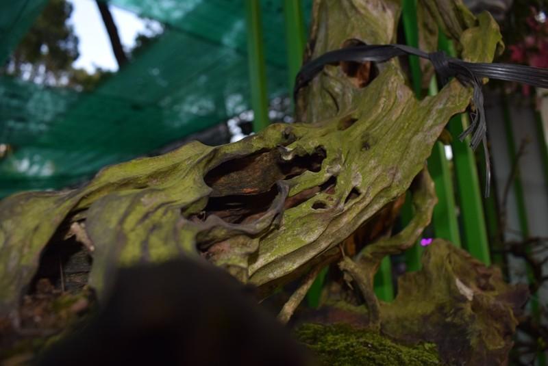 Cây kiểng, bonsai độc lạ làm khách hàng trầm trồ - ảnh 1