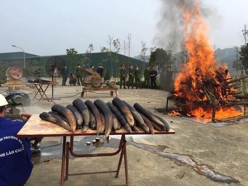 Cần biến tiêu hủy ngà voi trở thành thông lệ tại Việt Nam! - ảnh 1