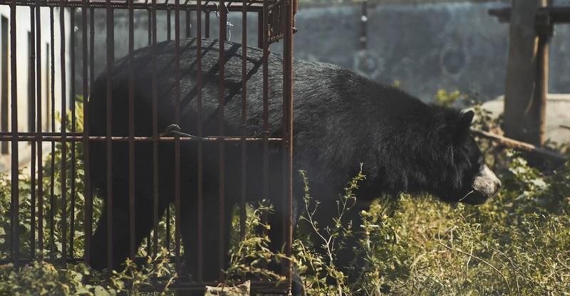 Ám ảnh ánh mắt chú gấu trong phim ngắn 'trích hút mật gấu…' - ảnh 2