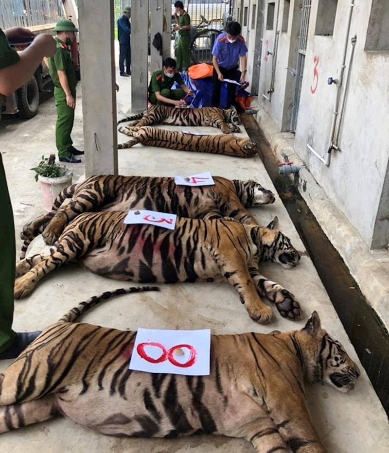 Vụ Công an Nghệ An cứu 24 con hổ nhưng 8 con bị chết: ENV nói gì? - ảnh 2
