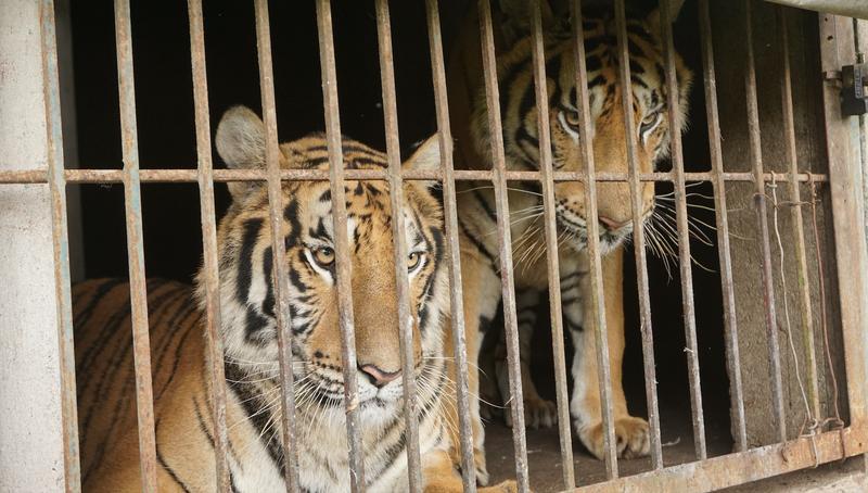Vụ Công an Nghệ An cứu 24 con hổ nhưng 8 con bị chết: ENV nói gì? - ảnh 1