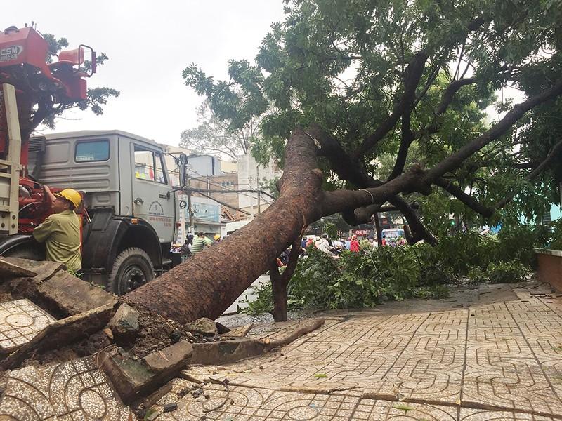 TP.HCM: Mưa quật cây cổ thụ bật gốc ngay cổng trường  - ảnh 2