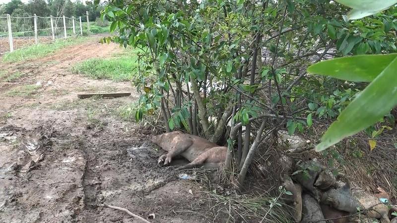 Nhiều con heo chết, thối rữa vứt trong rừng tràm ở ven TP.HCM - ảnh 2