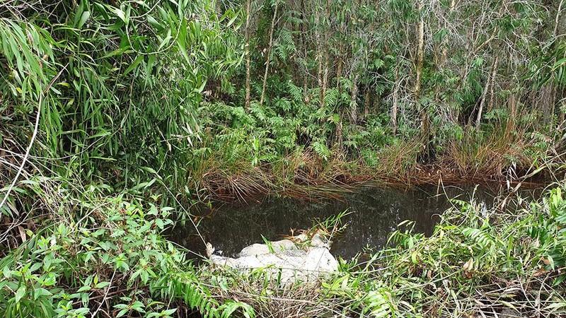 Nhiều con heo chết, thối rữa vứt trong rừng tràm ở ven TP.HCM - ảnh 1