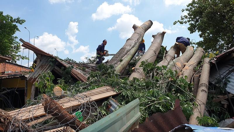 Quận 6: Cây gòn hơn 50 tuổi đổ sập, hai gia đình thoát chết - ảnh 12