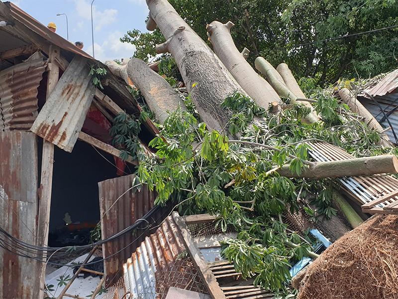 Quận 6: Cây gòn hơn 50 tuổi đổ sập, hai gia đình thoát chết - ảnh 2