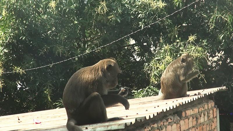 Quận 12: Kiểm lâm lên phương án bắn thuốc mê đàn khỉ 'đại náo' - ảnh 2