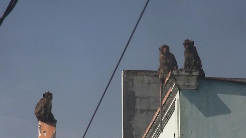 Quận 12: Kiểm lâm lên phương án bắn thuốc mê đàn khỉ 'đại náo' - ảnh 3