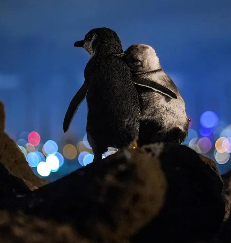 Những câu chuyện bí ẩn phía sau loài chim cánh cụt - ảnh 1