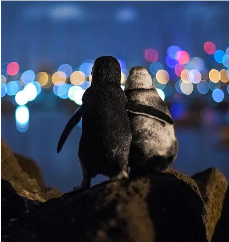 Những câu chuyện bí ẩn phía sau loài chim cánh cụt - ảnh 2