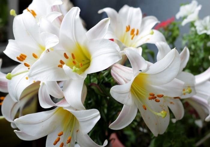 Đừng trưng những loài hoa này trong nhà dịp tết - ảnh 3