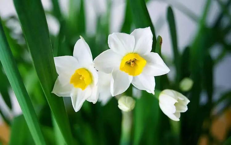 Đừng trưng những loài hoa này trong nhà dịp tết - ảnh 1
