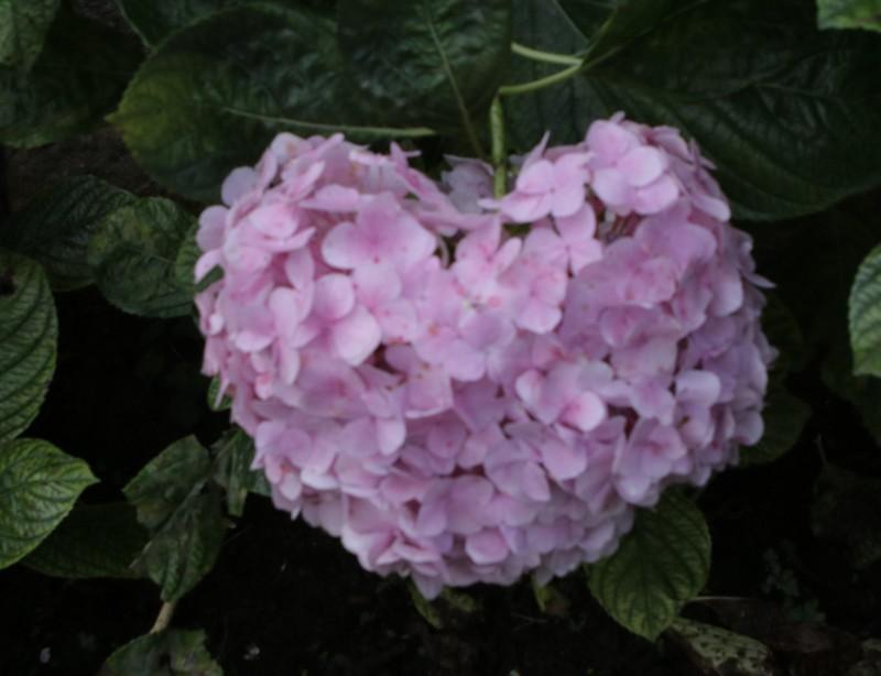 Đừng trưng những loài hoa này trong nhà dịp tết - ảnh 2