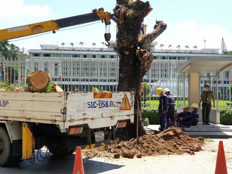 Công ty Cây xanh phản hồi việc đốn cây 199 ở Dinh Độc Lập - ảnh 1