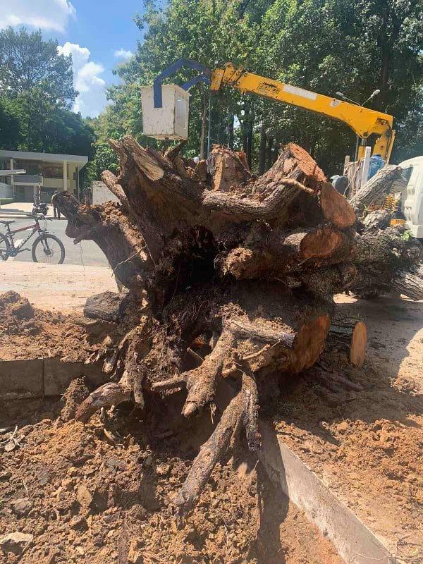 Công ty Cây xanh phản hồi việc đốn cây 199 ở Dinh Độc Lập - ảnh 2
