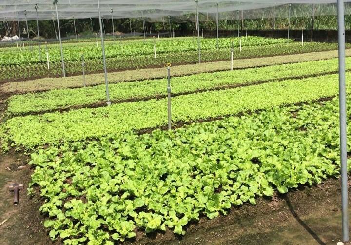 Rau trồng nơi không khí bị ô nhiễm sẽ ảnh hưởng ra sao? - ảnh 1