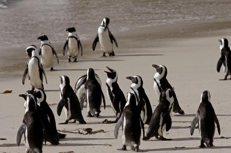 Đàn chim cánh cụt có nguy cơ bị tuyệt chủng ở Nam Phi bị bầy ong giết chết - ảnh 1