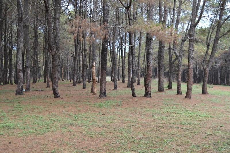 Gần 1.000 cây thông bị róc vỏ làm giá thể trồng lan - ảnh 1