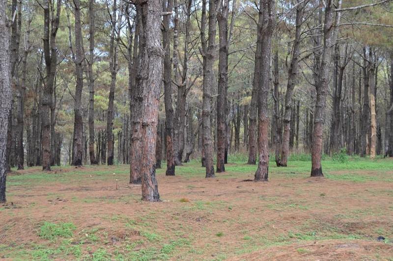 Gần 1.000 cây thông bị róc vỏ làm giá thể trồng lan - ảnh 2
