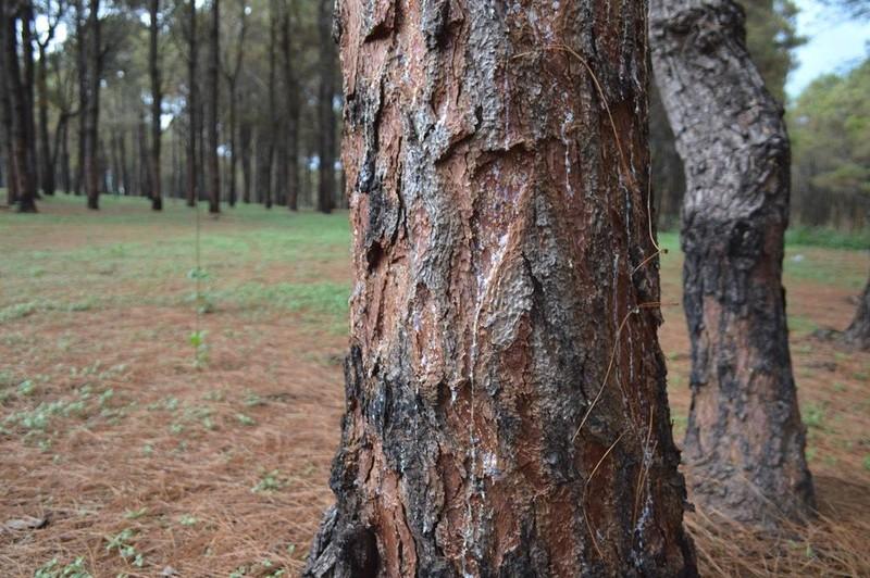 Gần 1.000 cây thông bị róc vỏ làm giá thể trồng lan - ảnh 3