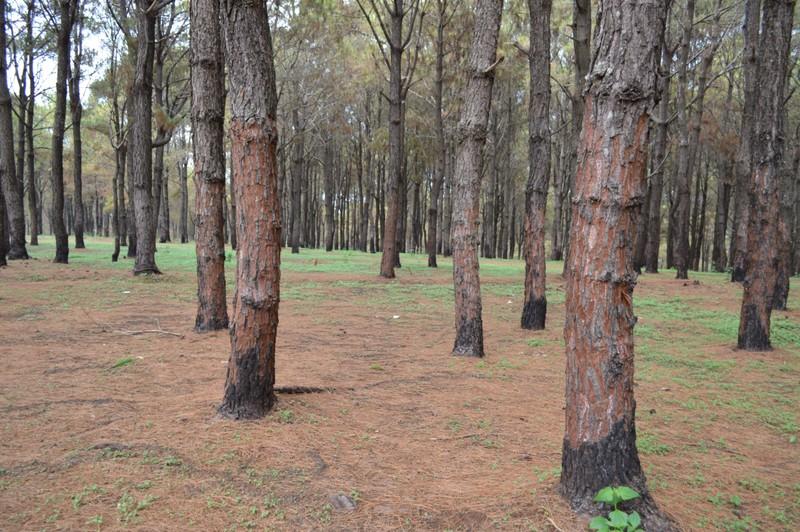 Gần 1.000 cây thông bị róc vỏ làm giá thể trồng lan - ảnh 4