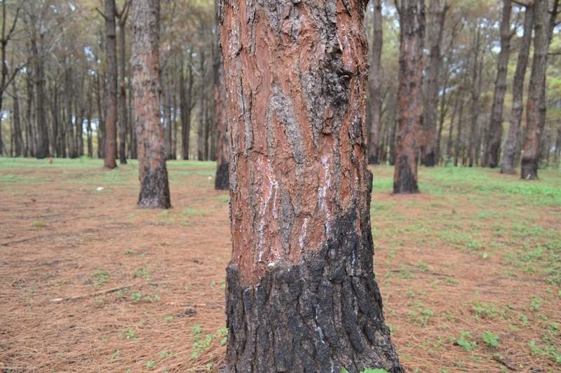 Gần 1.000 cây thông bị róc vỏ làm giá thể trồng lan - ảnh 5