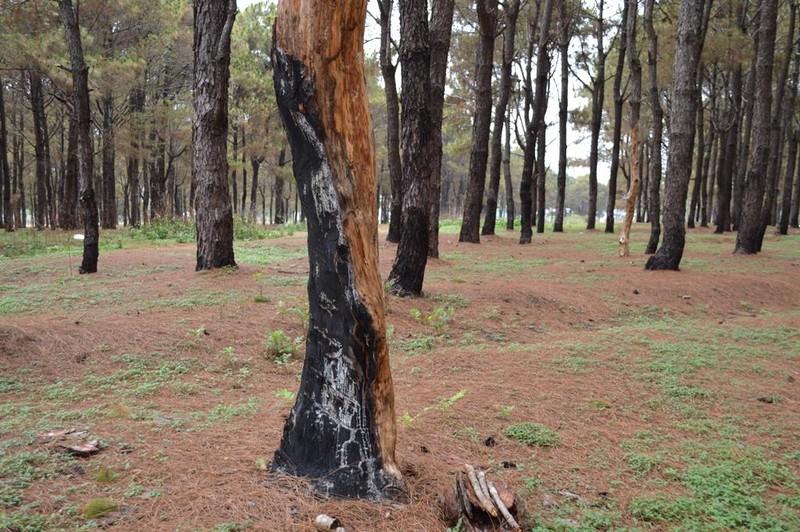 Gần 1.000 cây thông bị róc vỏ làm giá thể trồng lan - ảnh 6