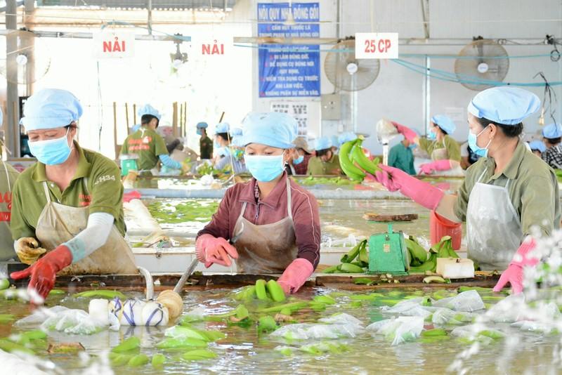 'Bí kíp' chuối Việt Nam xuất khẩu được giá sang TQ - ảnh 1