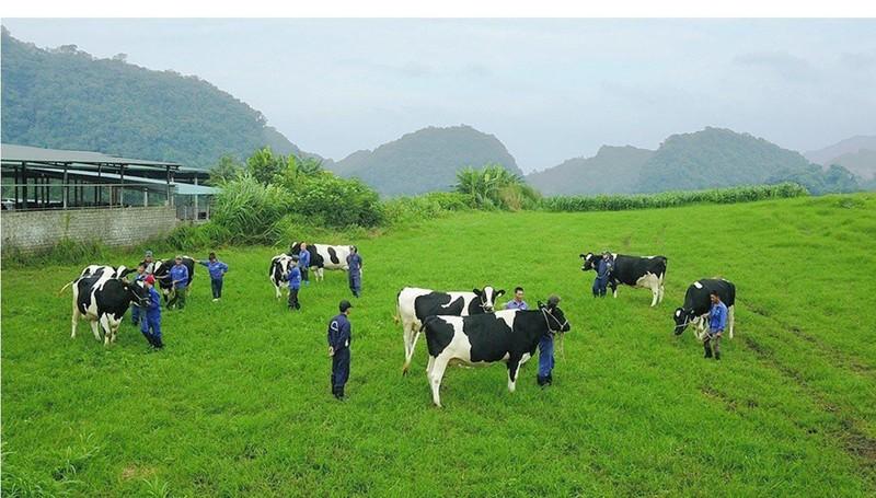 Chi hơn 1.700 tỉ, Vinamilk vẫn chưa thâu tóm được sữa Mộc Châu - ảnh 1